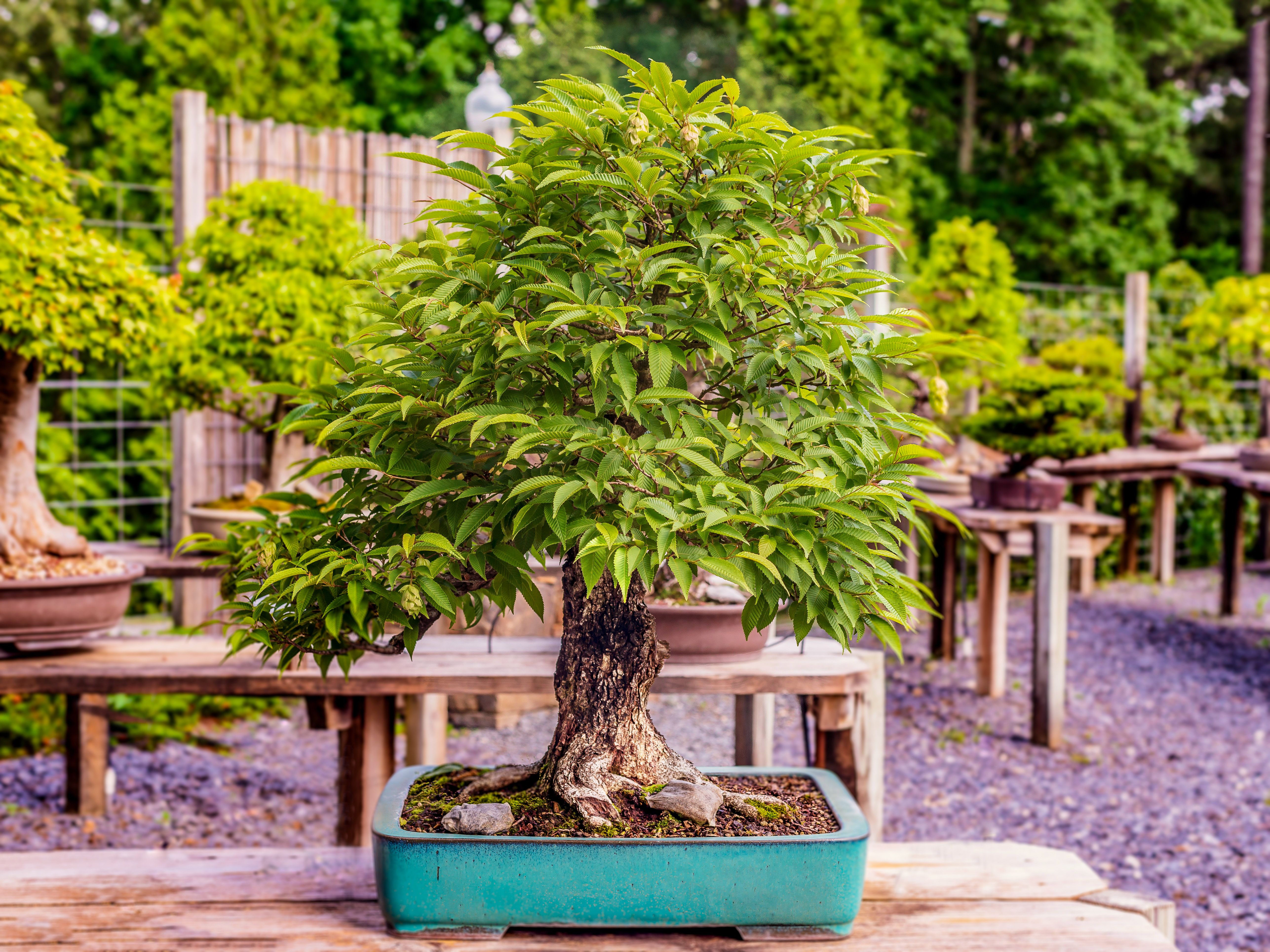 Bonsai-specimen-6