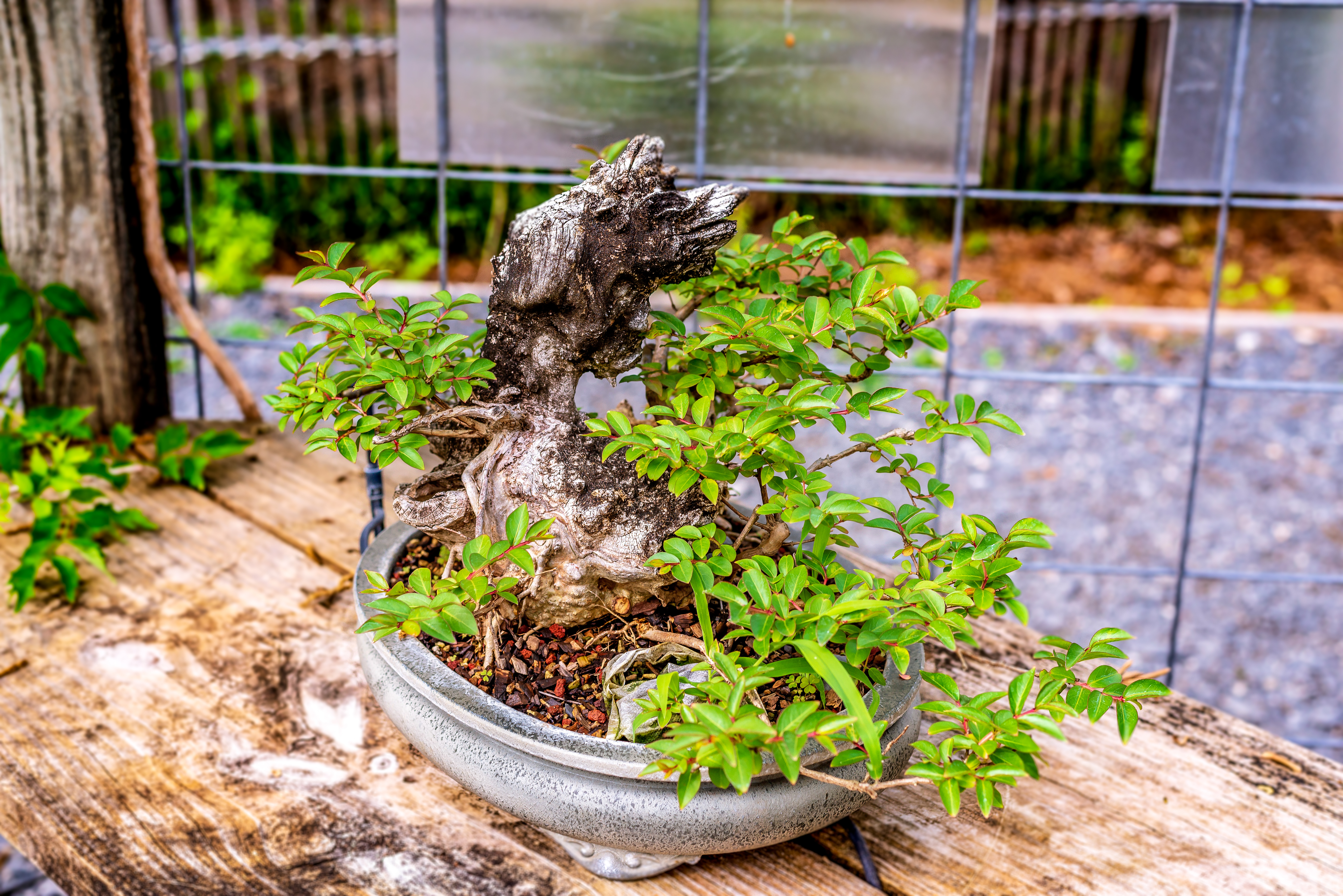 Bonsai-specimen-7