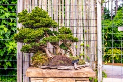 Bonsai-specimen-4