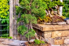 Bonsai-specimen-5