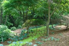Japanese Maple Grove
