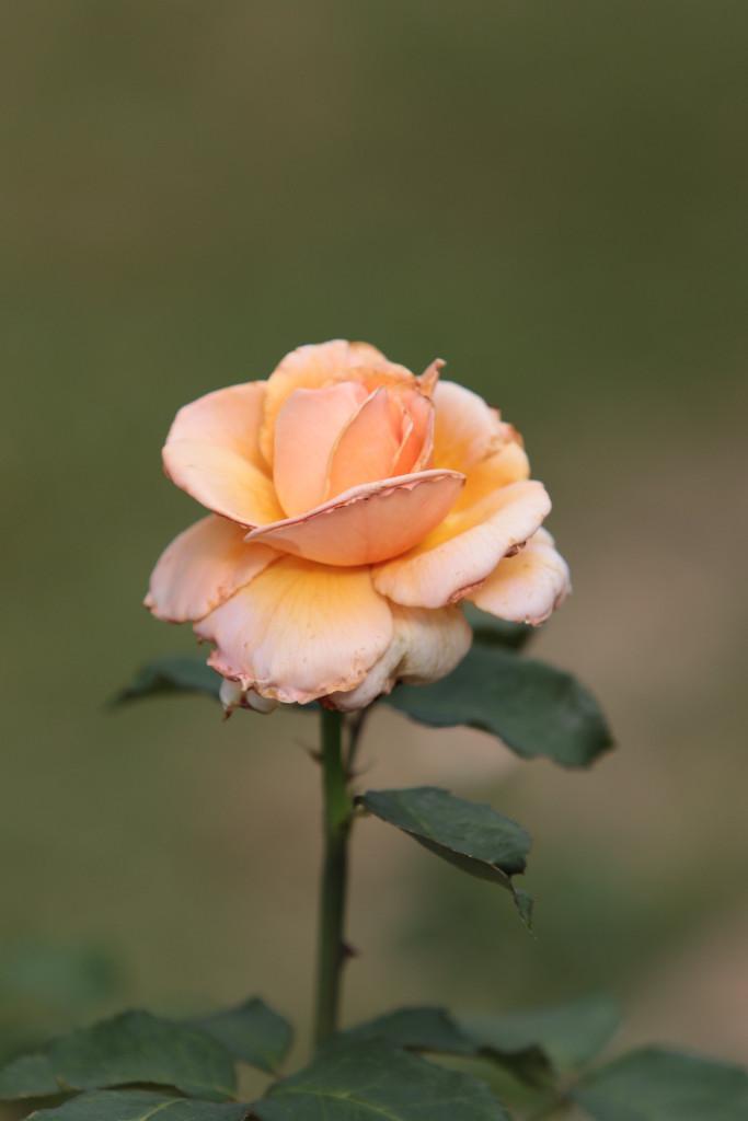 Rose Gala
