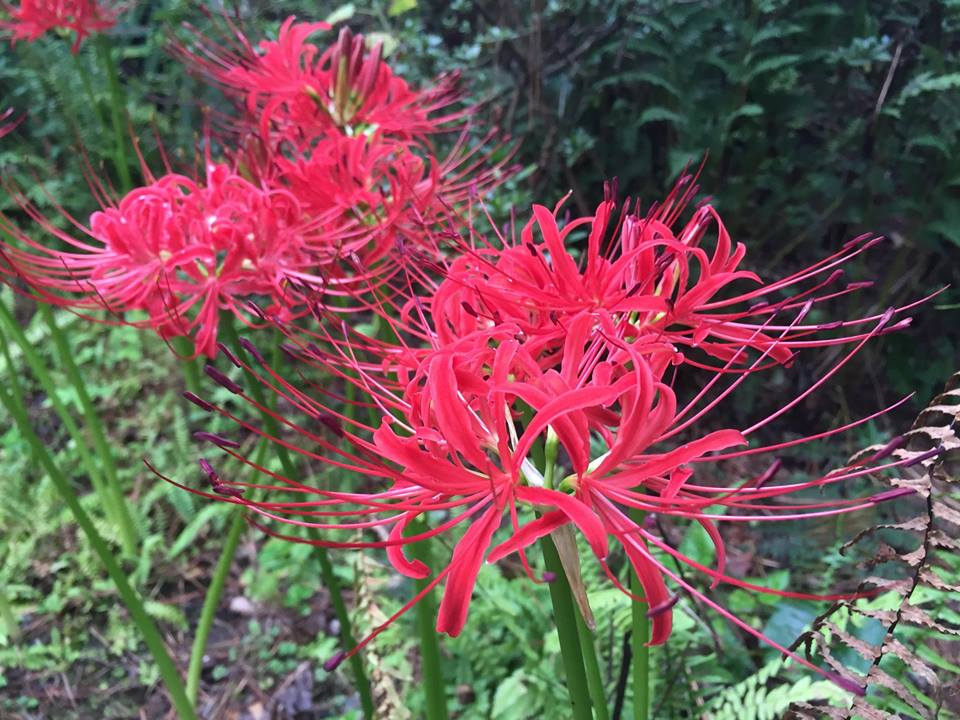 Plant of the Week: Red Spider Lily