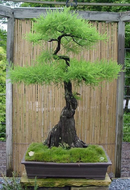 #16 Pond Cypress