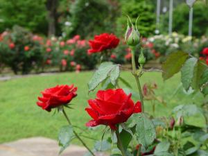 Rose Care 101 @ Smith-Gilbert Gardens | Kennesaw | Georgia | United States