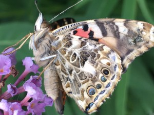 Furry painted lady