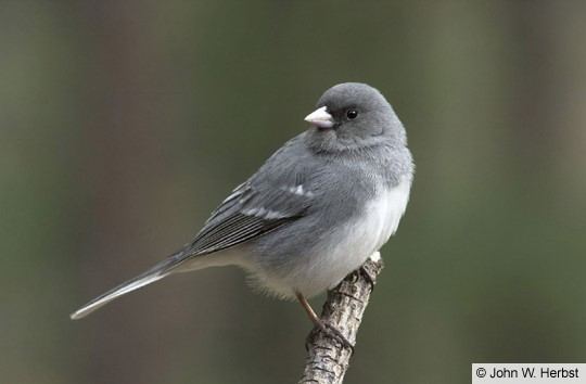 white winged junco