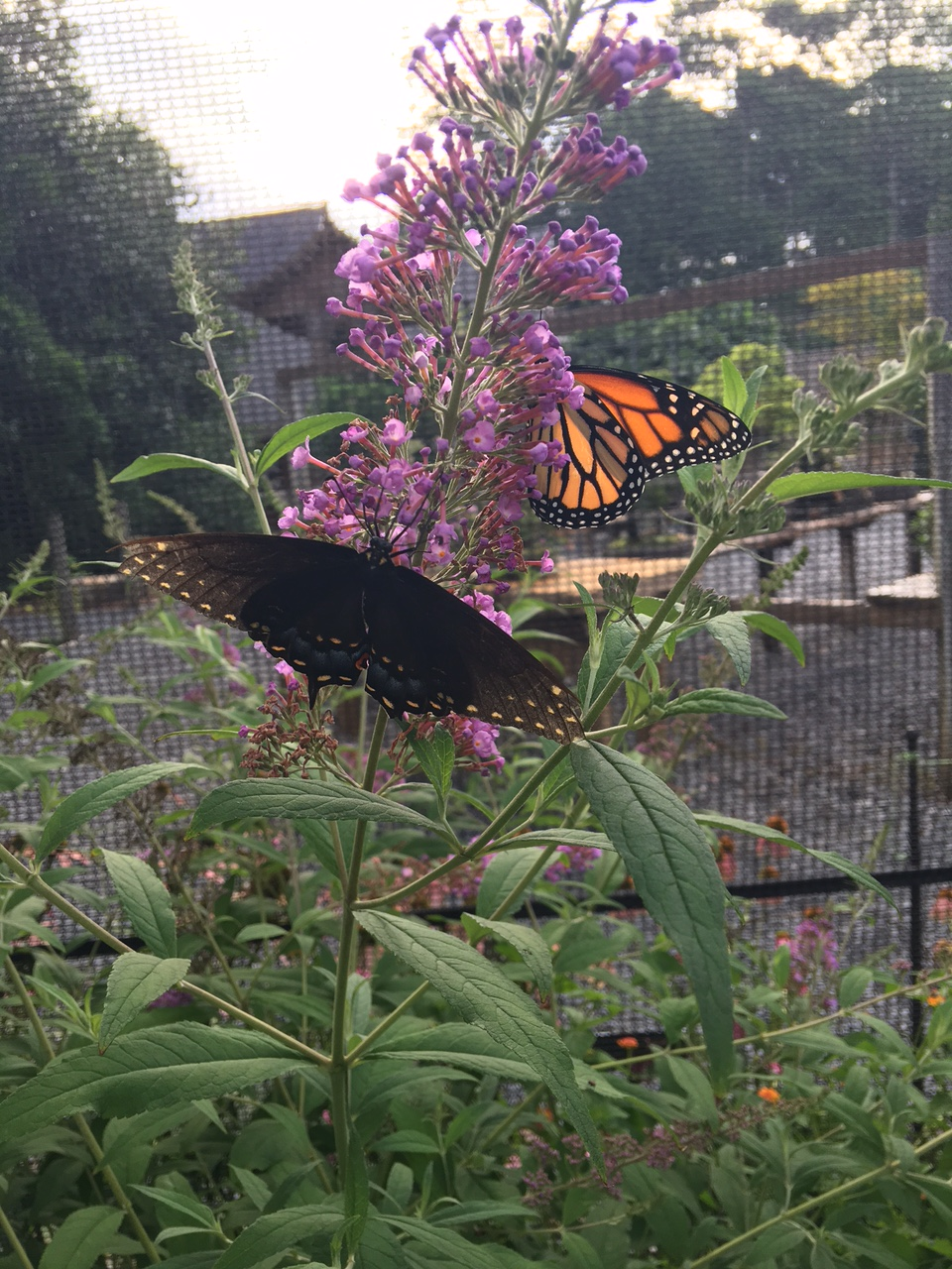 Black Swallowtail and Monarch pals