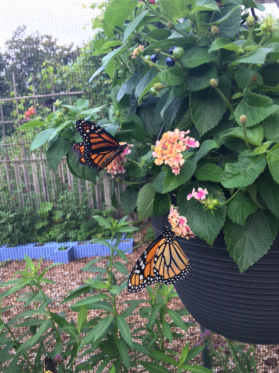 Container with monarchs 2