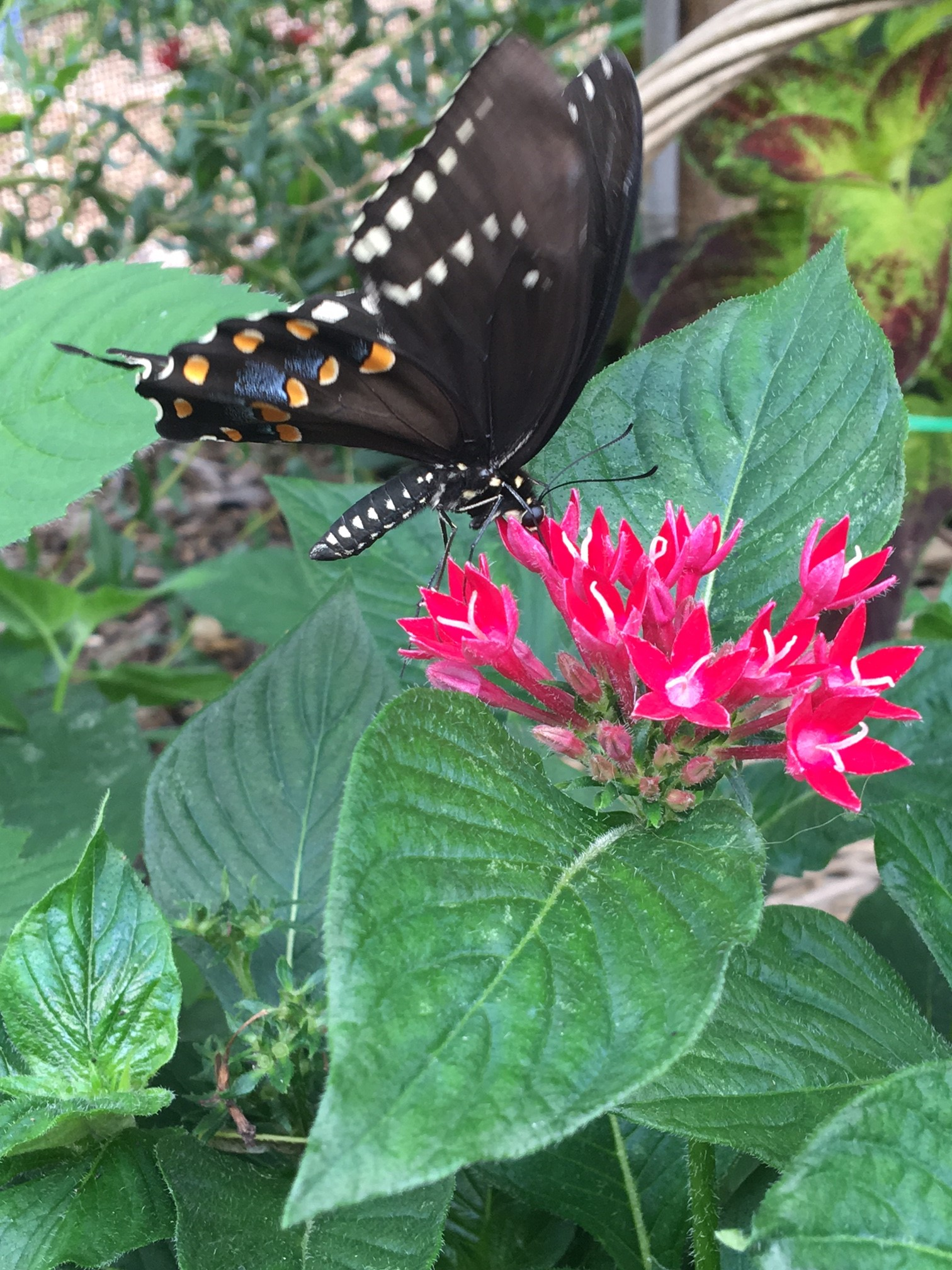 Spicebush Swallowtail Feeding (3)