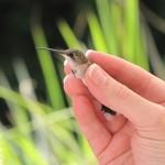 Hummingbird SGG