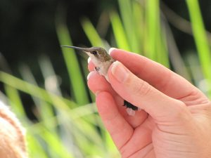 7th Annual Hummingbird Banding Event @ Smith-Gilbert Gardens | Kennesaw | Georgia | United States