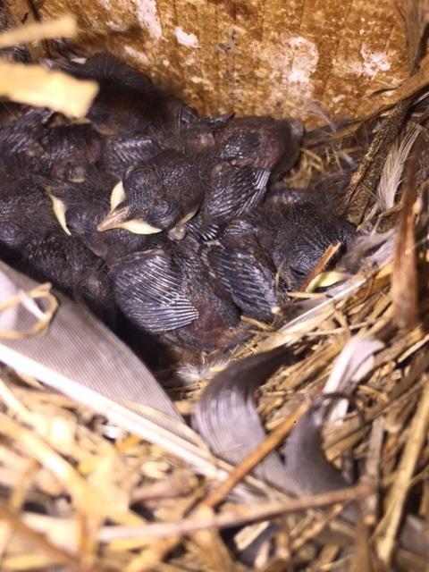 House wrens 5.16