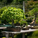 Smith Gilbert Gardens bonsai