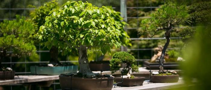 Smith Gilbert Gardens bonsai