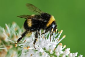 Citizen Science Homeschool Series: Bumble Bee Watch @ Smith-Gilbert Gardens | Kennesaw | Georgia | United States