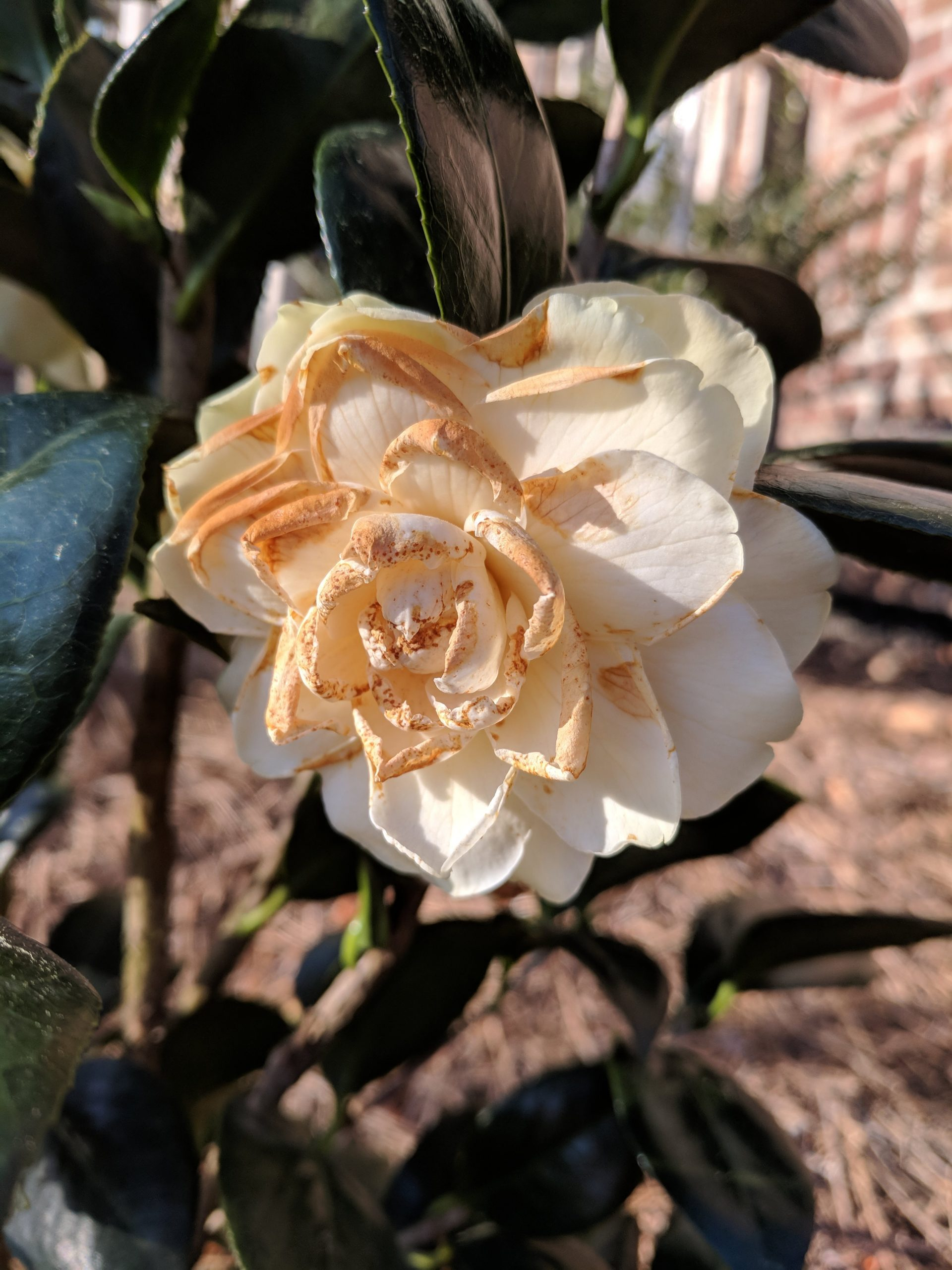 Petal Blight and Camellias